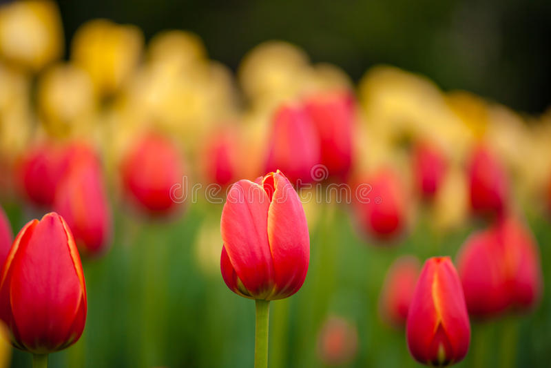 Bakgrund av röda och gula tulpan royaltyfri bild