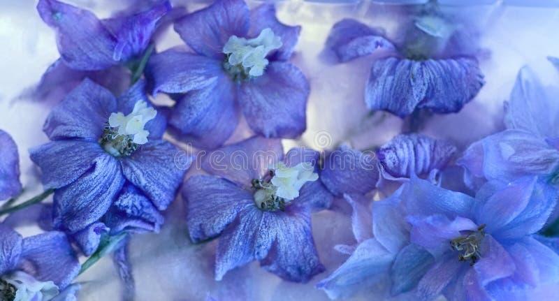 Bakgrund av  riddarsporreblomma som frysas i is royaltyfri fotografi