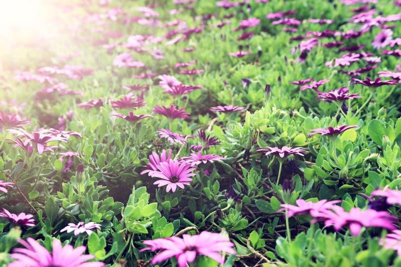 Bakgrund av rosa h?rliga blommor f?r v?r Selektivt fokusera arkivfoton