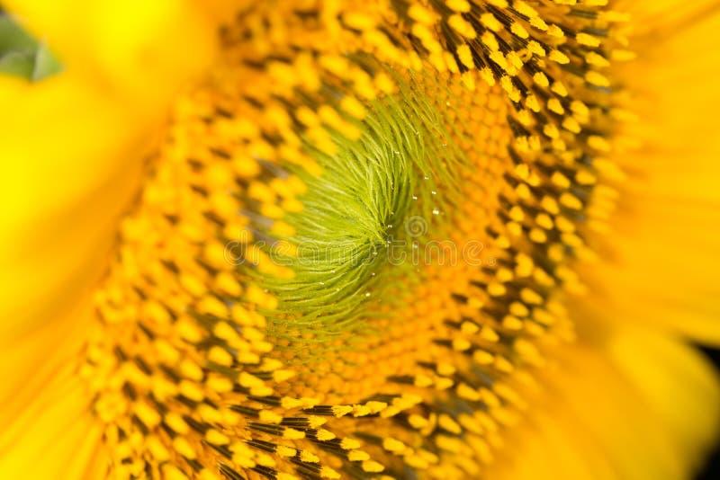 Download Bakgrund av solrosor close fotografering för bildbyråer. Bild av tillväxt - 106833867