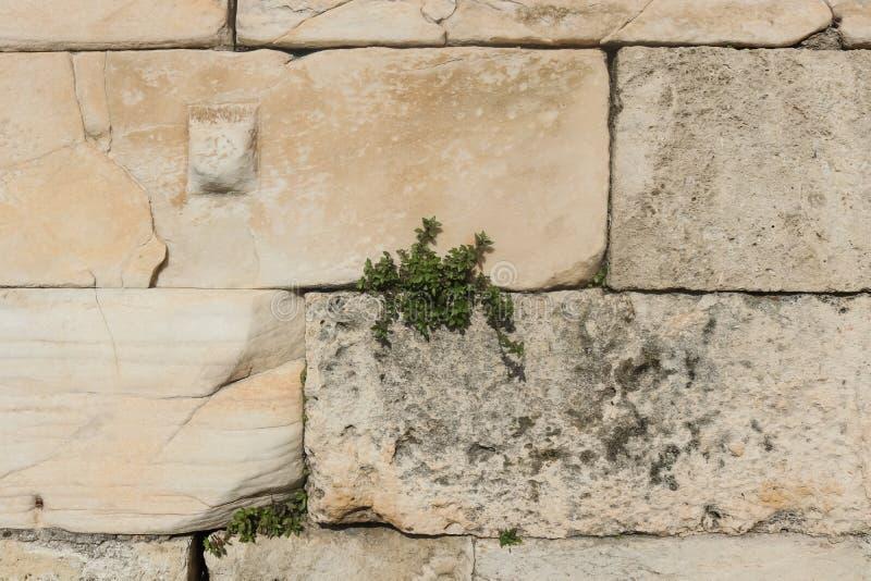 Bakgrund av stenkvarterväggen med den lilla växten som växer i spricka från grek, fördärvar - närbild royaltyfri foto