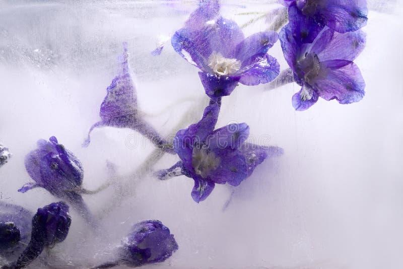 Bakgrund av stormhattblomman som frysas i is arkivfoto