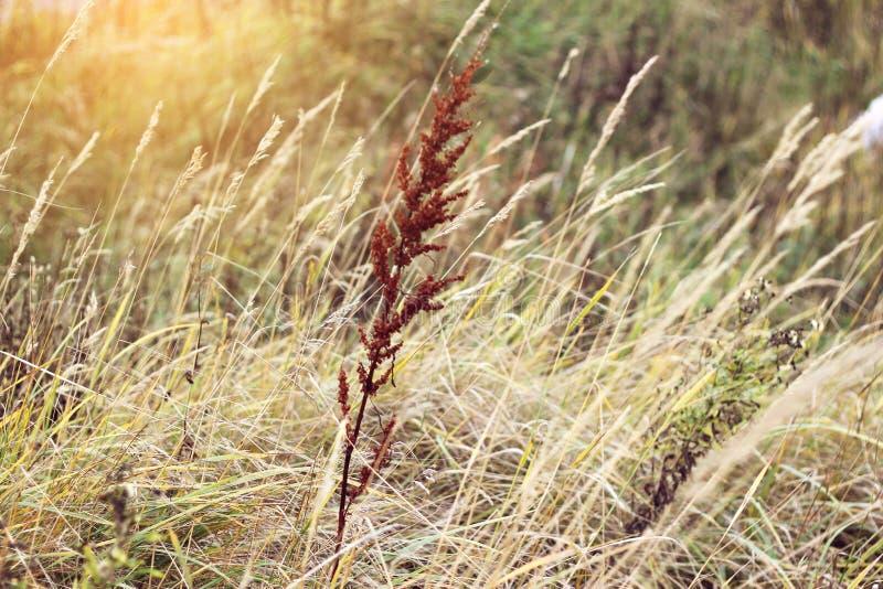Bakgrund av torrt stäppgräs, textur för designen, höstväder royaltyfria bilder
