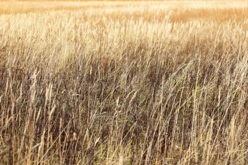 Bakgrund av torrt stäppgräs, textur för designen, höstväder royaltyfri bild