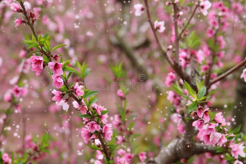 bakgrund av vårblomningträdet med rosa härliga blommor Selektivt fokusera royaltyfri foto