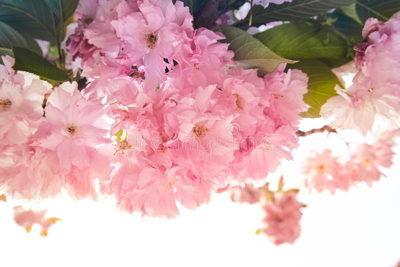 Bakgrund av våren som blommar det rosa sacuraträdet royaltyfria bilder