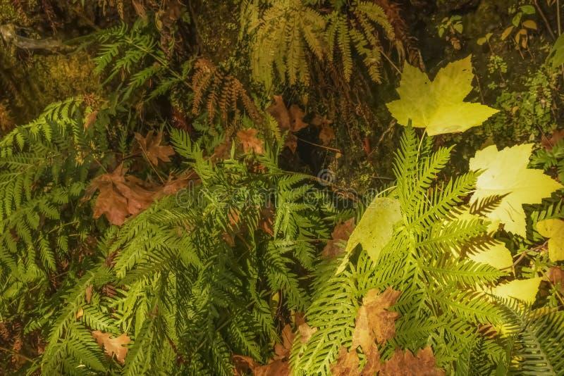 Bakgrund av våta ormbunkar och färgrika höstsidor på regnskoggolv arkivfoto