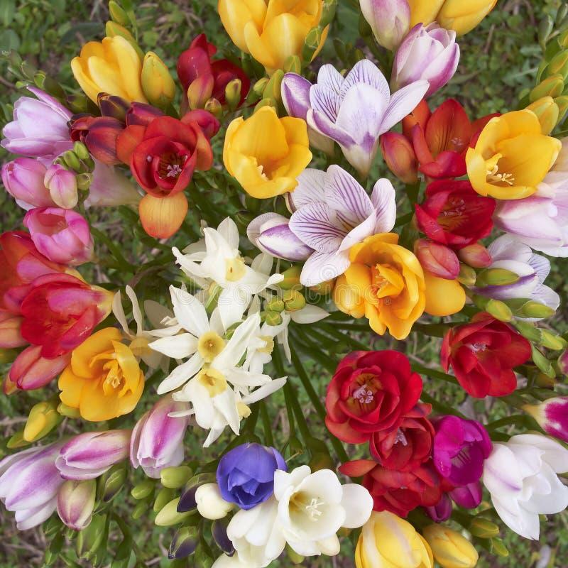 bakgrund blommar naturlig freesia royaltyfri fotografi
