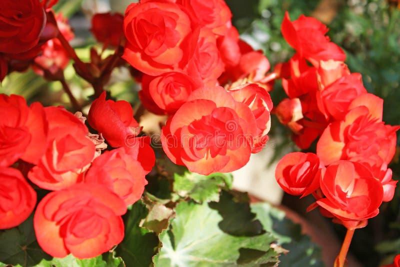 bakgrund blommar red royaltyfri foto