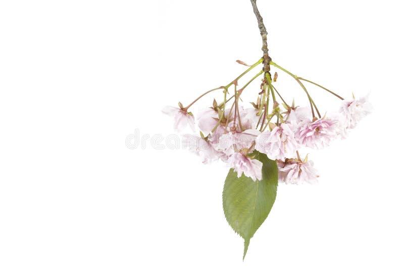 bakgrund blomstrar Cherryet isolerad white fotografering för bildbyråer