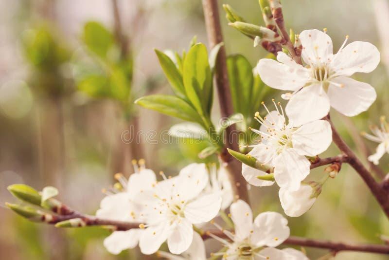 bakgrund blomstrar filialCherrywhite royaltyfri bild