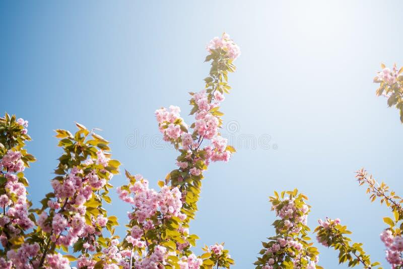 bakgrund blomstrar filialCherrywhite H?rliga rosa f?rgblommor Sakura p? bakgrund f?r bl? himmel arkivfoto