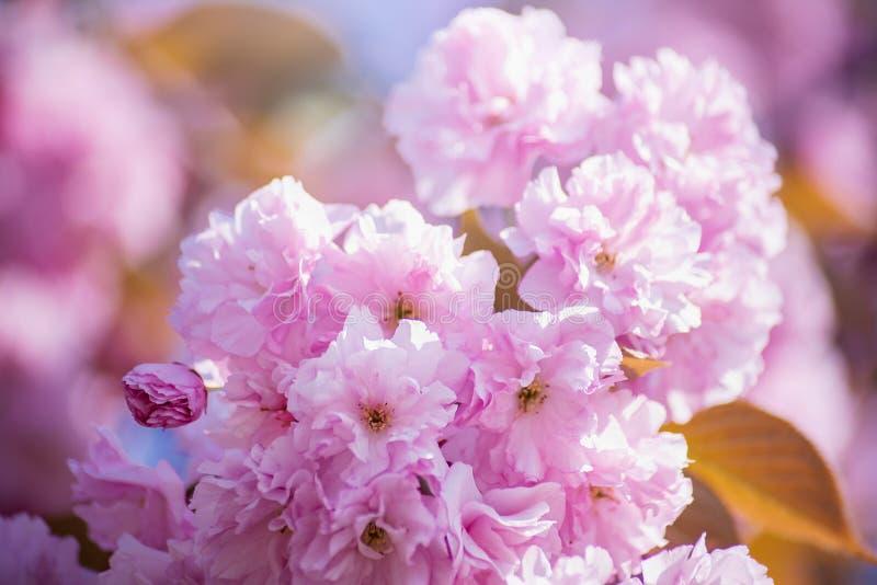 bakgrund blomstrar filialCherrywhite H?rliga rosa f?rgblommor Sakura p? bakgrund f?r bl? himmel arkivbild
