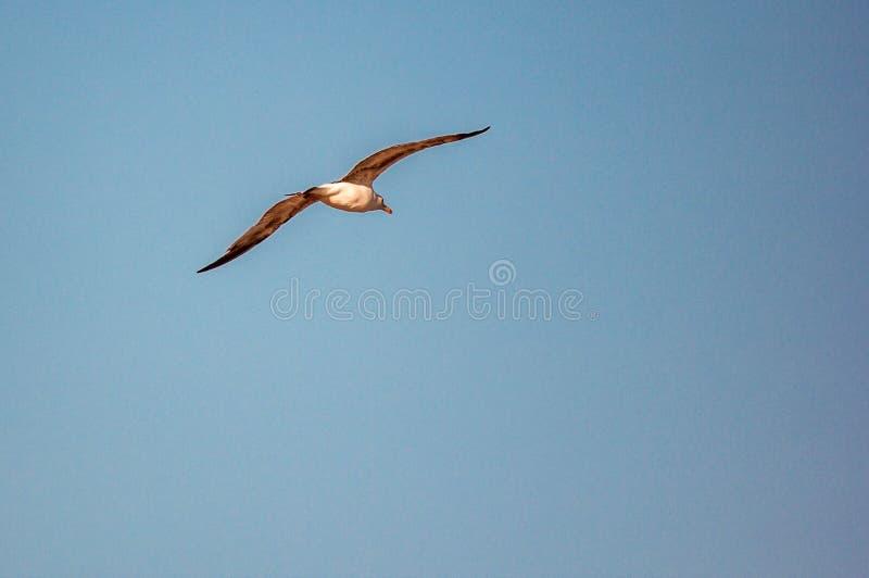 Bakgrund en härlig blå sommarhimmel utan ett moln, att skissera en flygaseagull som slås av solen royaltyfri bild