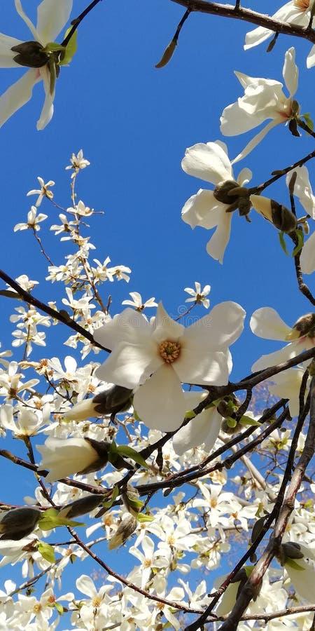 Bakgrund En vårfilial med härliga blommor av magnolian mot den blåa himlen royaltyfri fotografi