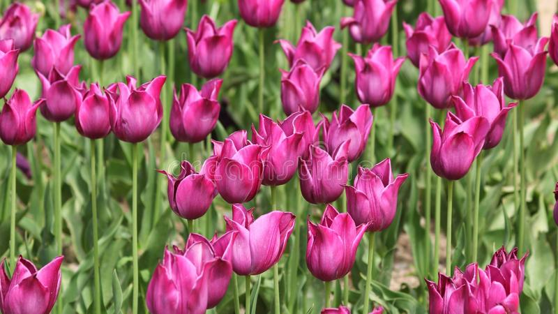 Bakgrund - ett fält av härliga rosa tulpan royaltyfri fotografi