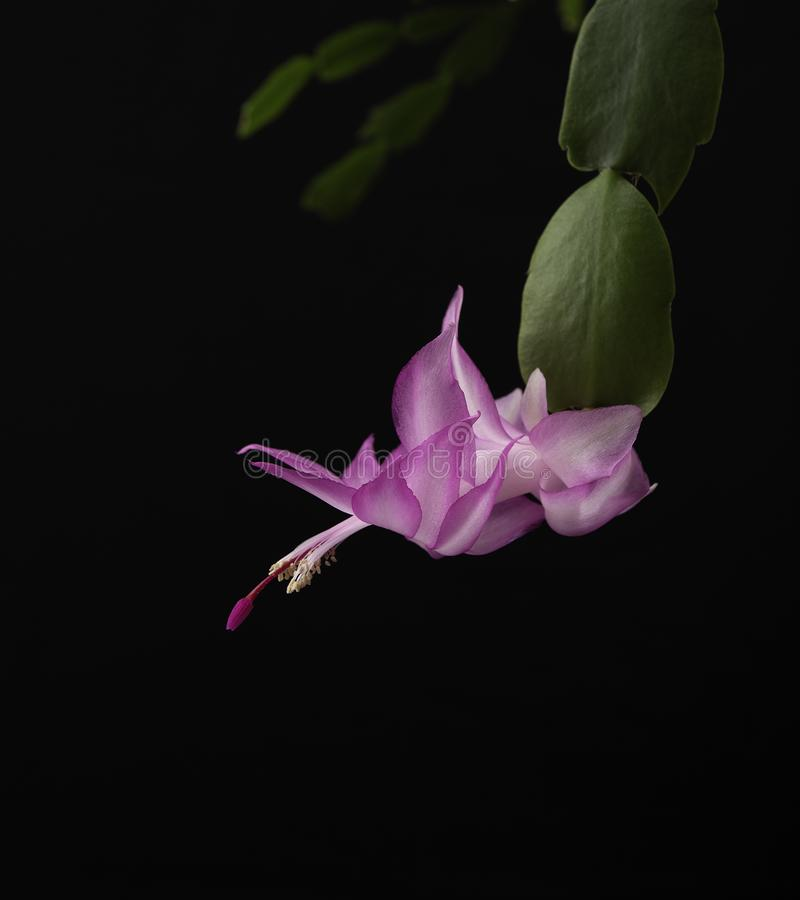 Bakgrund för blomma för julkaktus enkel rosa svart royaltyfria foton