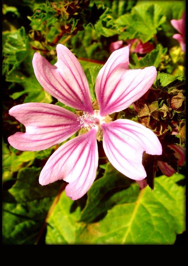 Bakgrund för blomma för Malvasylvestrismakro royaltyfria bilder