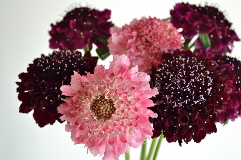 Bakgrund för bukett för blomma för Salmon Queen Black Pompom Black riddarenåldyna vit arkivbilder