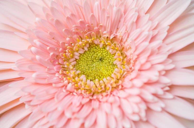 Bakgrund för chrysanthemun för Closeup rosa texturerad blomma arkivfoto