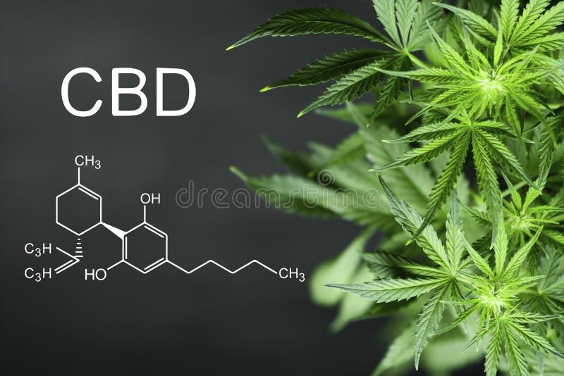 Bakgrund för den kemiska formeln för CBN blommar härlig av grön cannabis a-stället för kopieringsutrymme royaltyfria foton