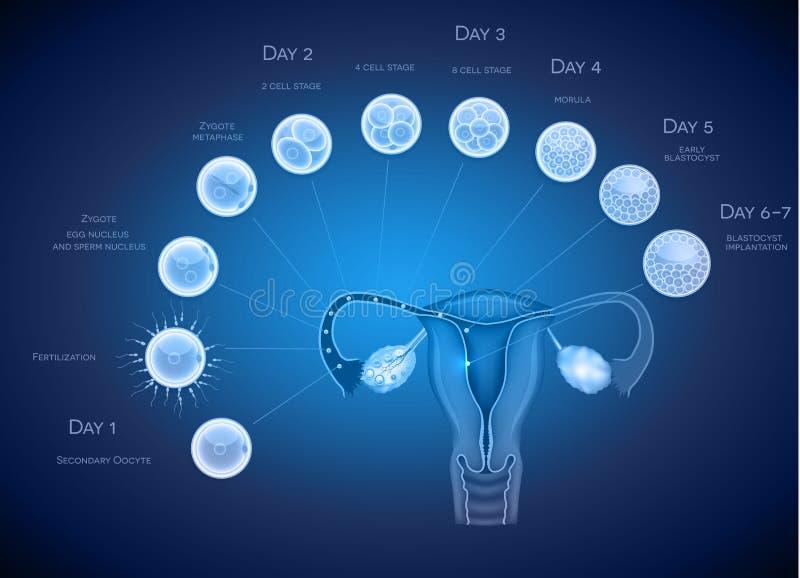 Bakgrund för embryoutvecklingsblått vektor illustrationer