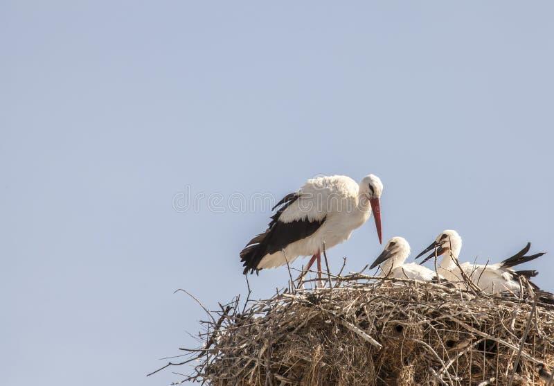 Bakgrund för fåglar för djurliv för natur för storkfamiljrede royaltyfri fotografi
