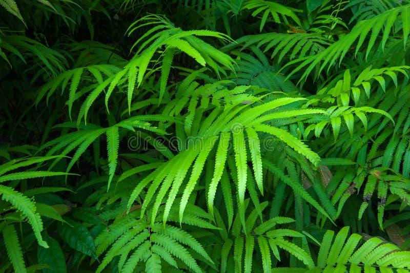 Bakgrund för grön lövverk för ormbunkesidor tropisk. Regnskog arkivbild