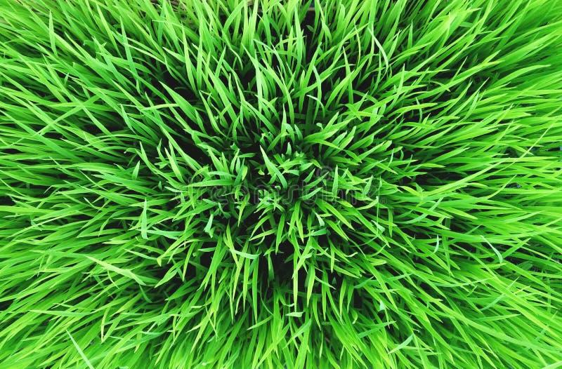 Bakgrund för grönt gräs, risväxt, abstrakt begrepp arkivbilder