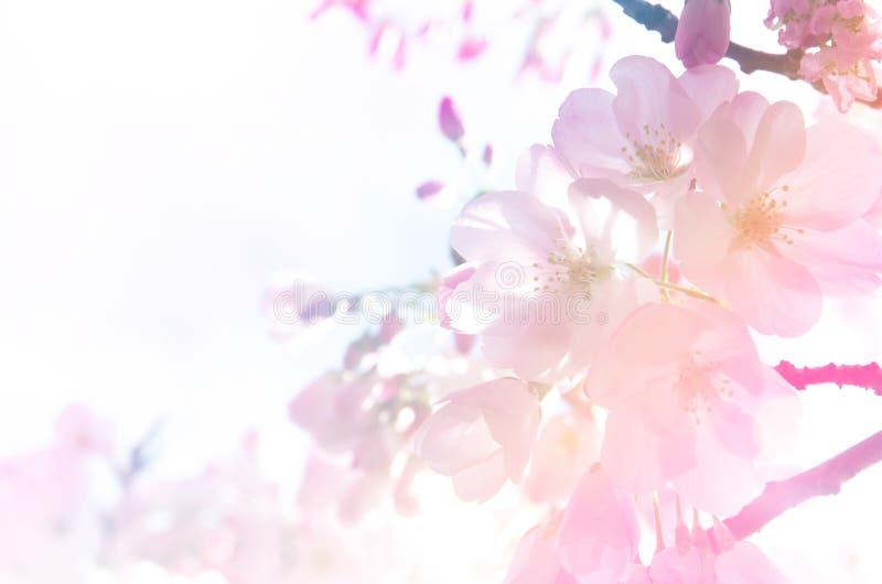 Bakgrund för körsbärsröd blomning i lutningljus arkivbild