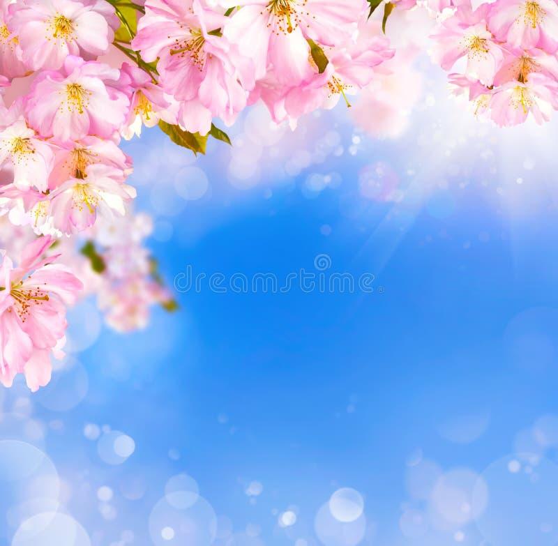 Bakgrund för körsbärsröda blomningar royaltyfri fotografi