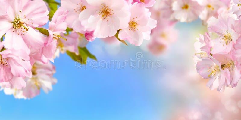 Bakgrund för körsbärsröda blomningar arkivbilder