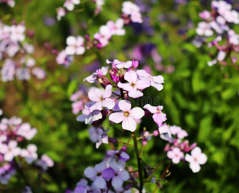 Bakgrund för longipetala för Matthiola för violett vår för nattblommor som försiktig är bekant som natt-vädrat materiel eller aft royaltyfria bilder