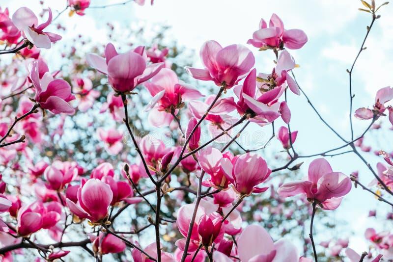Bakgrund för magnoliablommablomning fotografering för bildbyråer