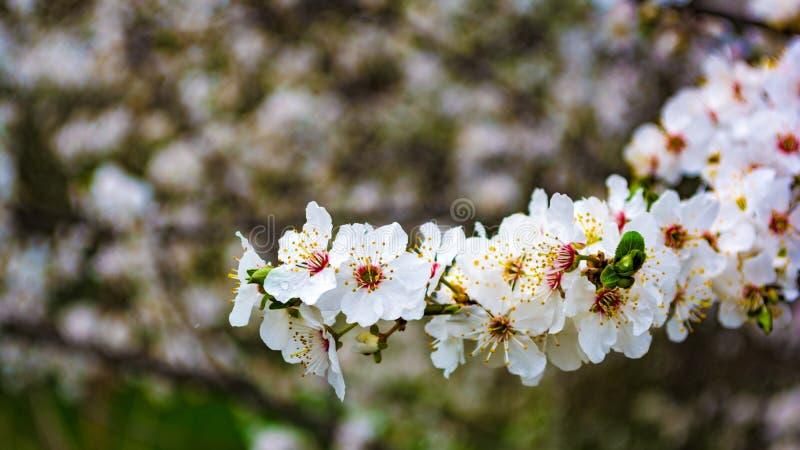 Bakgrund för mandelblomningvår royaltyfri bild