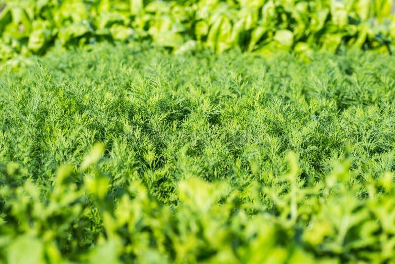 Bakgrund för närbild för persiljasalladdill arkivfoto