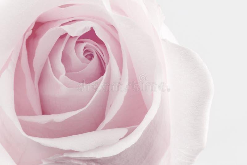 Bakgrund för natur för blommarostextur royaltyfri foto