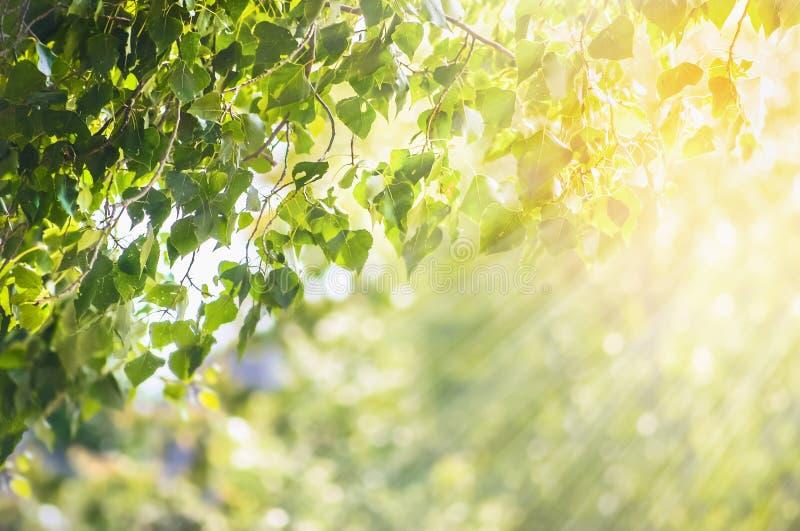 Bakgrund för naturvårsommar med gröna sidor förgrena sig royaltyfri fotografi