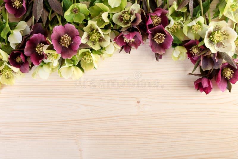 Bakgrund för pastellfärgad färg för vårblommor naturlig Lenten rosor över den ljusa trätabellen royaltyfri foto
