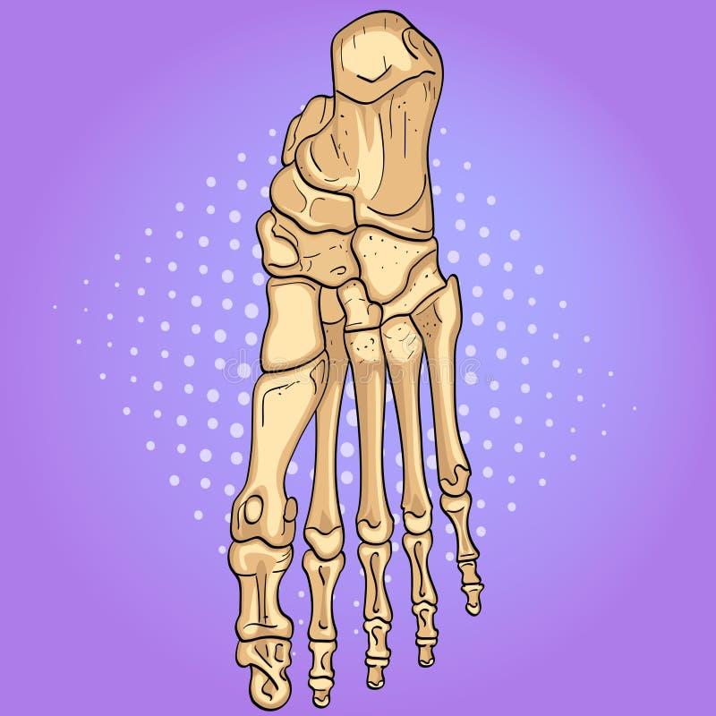 Bakgrund för popkonst Ben av foten med märkta huvudsakliga delar Från över, sido- och mediala sikter vektor stock illustrationer