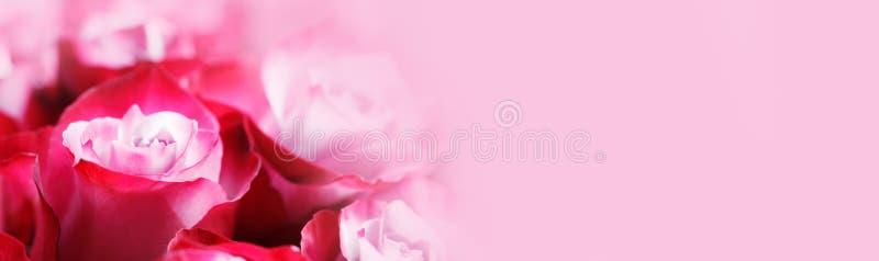 Bakgrund för rosa rosor royaltyfria bilder
