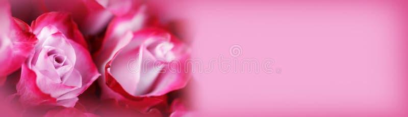 Bakgrund för rosa rosor arkivfoto