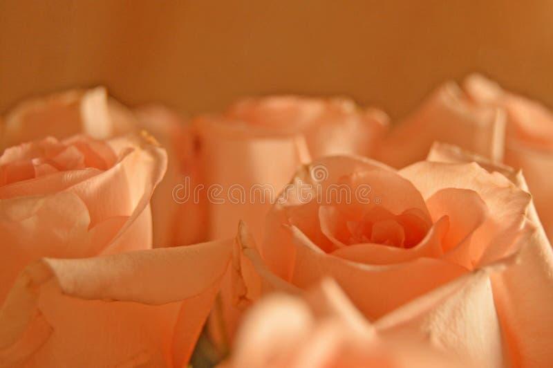 Bakgrund för Rose Many Gentle Pink Buds kronbladbukett royaltyfri foto