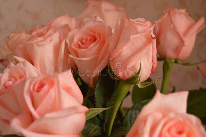 Bakgrund för Rose Many Gentle Pink Buds kronbladbukett royaltyfria bilder