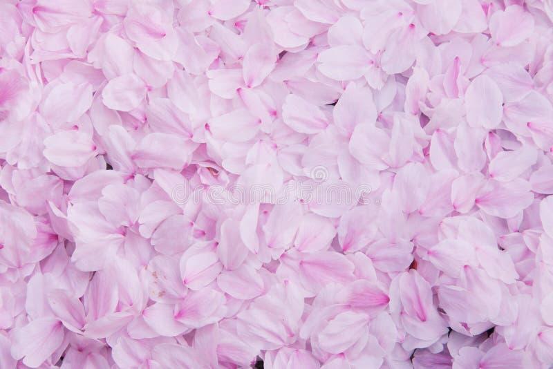 Bakgrund för Sakura kronbladvägg, bakgrund för körsbärsröd blomning för textur rosa arkivbilder
