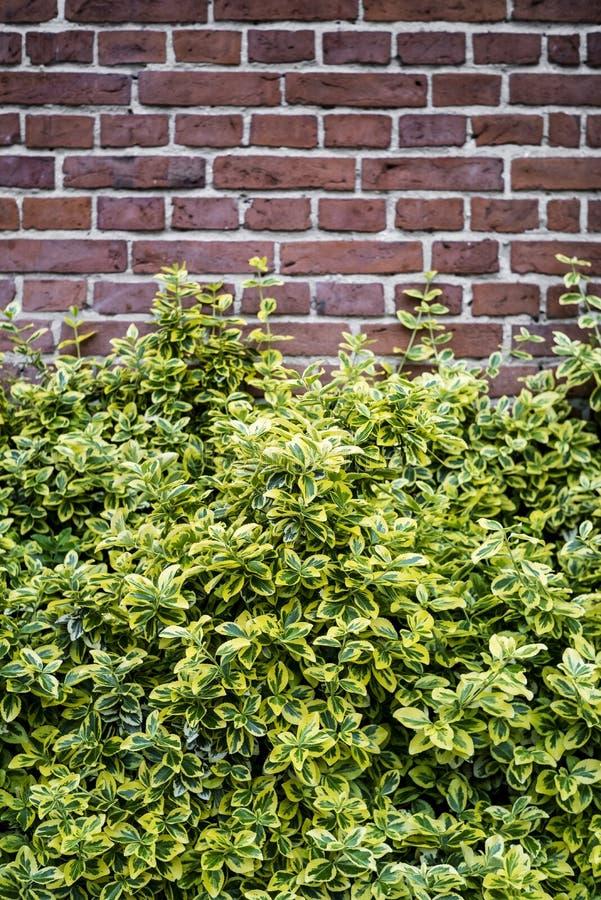 Bakgrund för tegelstenvägg med buskar royaltyfria foton