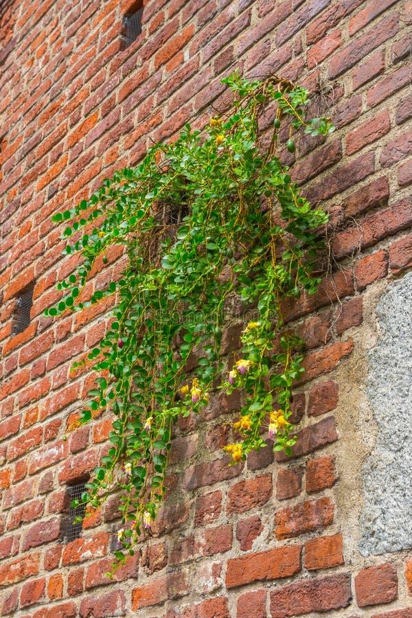 Bakgrund för tegelstenvägg med växten, sforzaslott, milan, Italien fotografering för bildbyråer