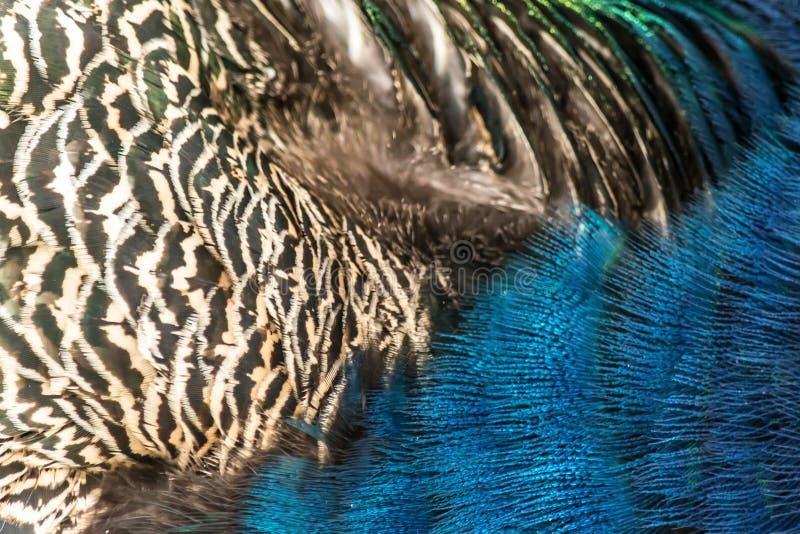 Bakgrund för textur för påfågelfjädermakro arkivfoto