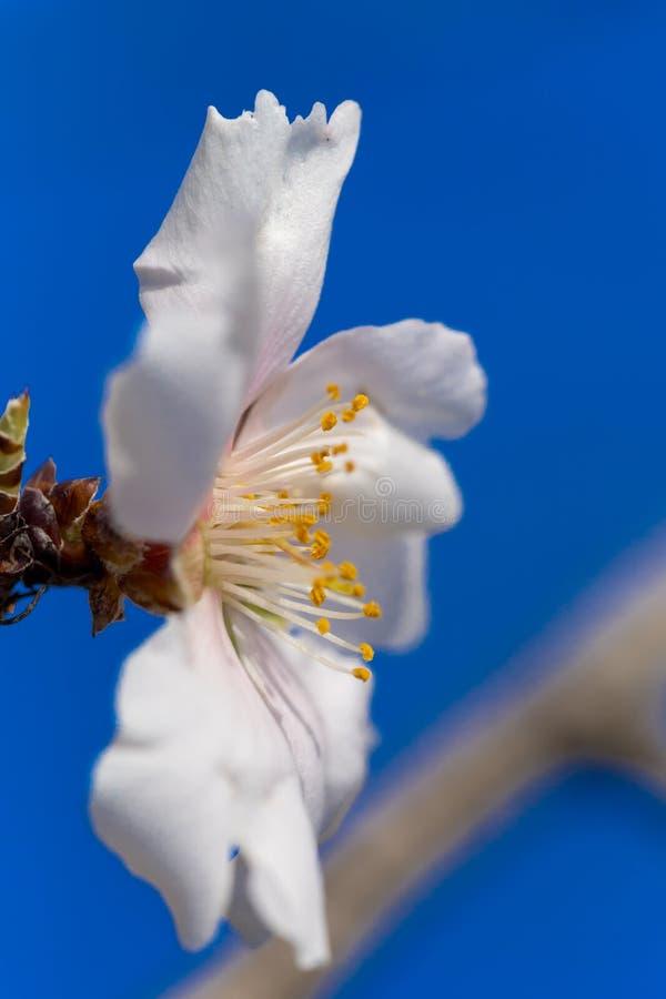 Bakgrund för vår för makro för blommor för mandelträd fotografering för bildbyråer