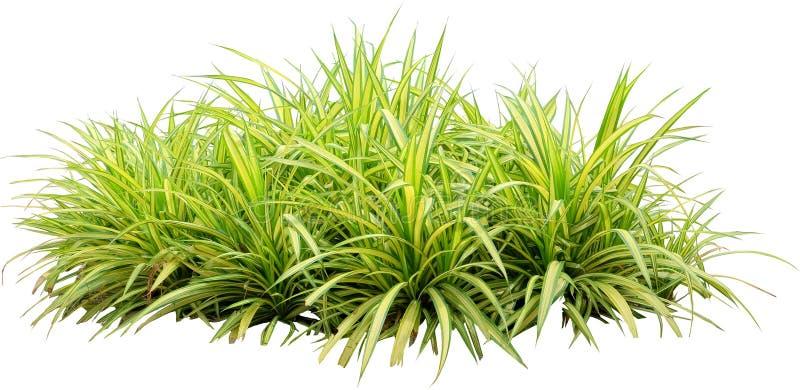 Bakgrund för vit för isolat för växt för Chlorophytum comosumspindel royaltyfria foton